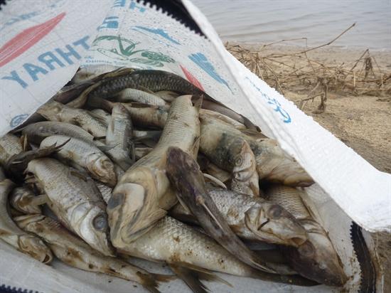 금강 물고기 떼죽음
