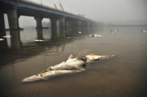 내장을 드러내고 죽은 물고기들 백제대교 아래 내장을 드러낸 채 죽어 있는 물고기떼