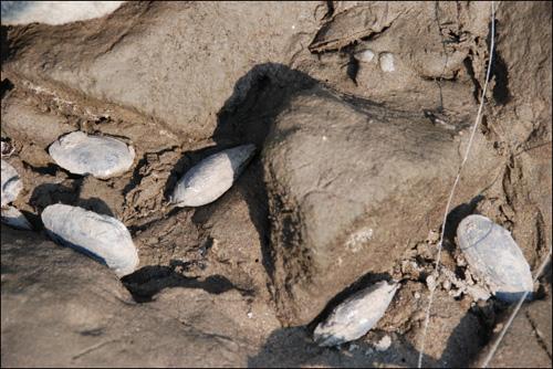 [2010년 11월] 충남 공주시 공주대교 교각공사를 위해 돌보를 해체하면서 물가에 서식하던 어패류(말조개, 뻘조개)가 집단 폐사했다