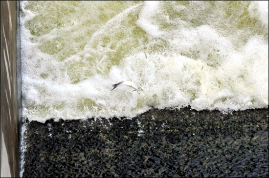 [2012년 여름] 충남 부여군 백제보 아래 물고기가 보를 거슬러 오르다 가로막혀 뛰어 오르기를 반복하고 있다.