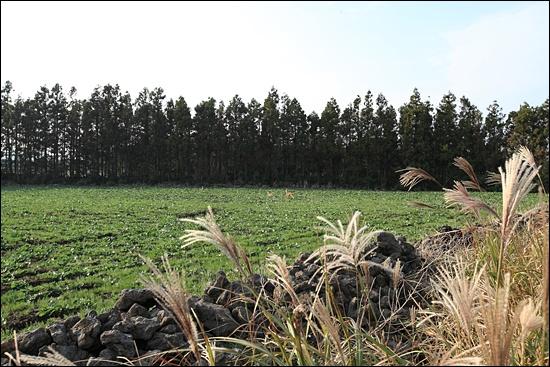 따라비오름 일대의 잣성과 방풍림으로 심겨진 삼나무. 노루가 뛰어다니고 있다.