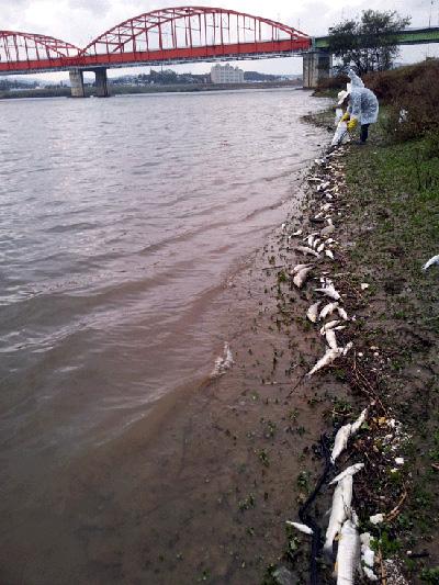 22일 부여대교 좌안에 죽은 물고기가 널려 있는 가운데 수거를 하고 있다.