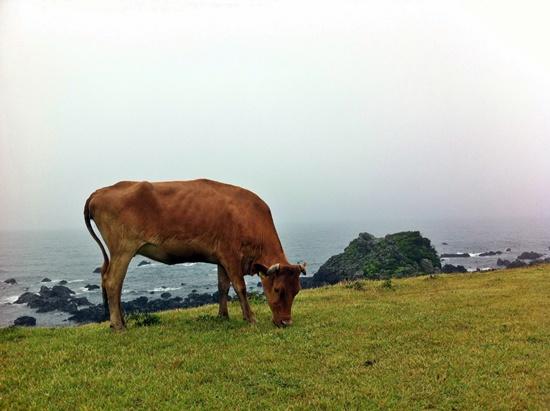 바다목장에서 소가 평화롭게 풀을 뜯고 있지만, 찍은 이는 가까이 가기위해 생명의 위협을 느꼈다고 했다.