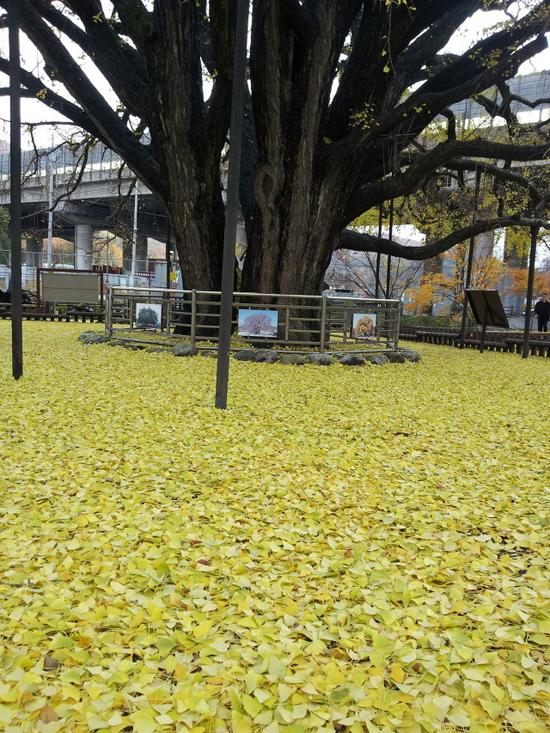 황금 양탄자 가을바람에 떨어진 은행잎이 황금 양탄자를 깔아 놓았다.
