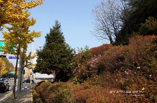 만추에 핀 철쭉2 늦 가을 만추에 도시에서 피어난 철쭉무리들