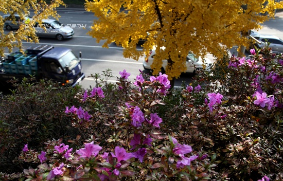만추에 핀 철쭉6 늦 가을 만추에 도시에서 피어난 철쭉무리들