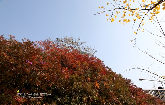 만추에 핀 철쭉10 늦 가을 만추에 도시에서 피어난 철쭉무리들