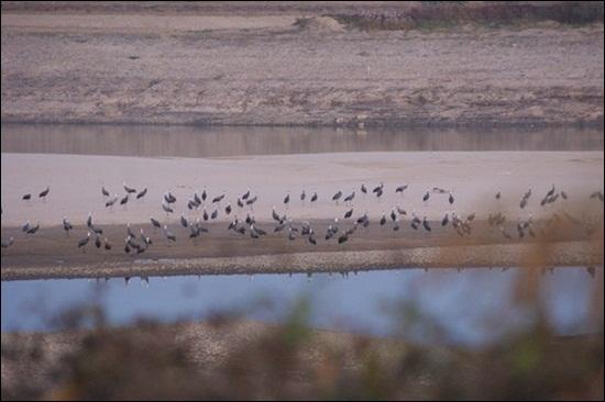 해평습지의 흑두루미. 2011년 겨울 해평습지. 이때까지만 해도 칠곡보 담수하기 전으로 모래톱이 남아있어 흑두루미가 내려앉아 쉬고 있다