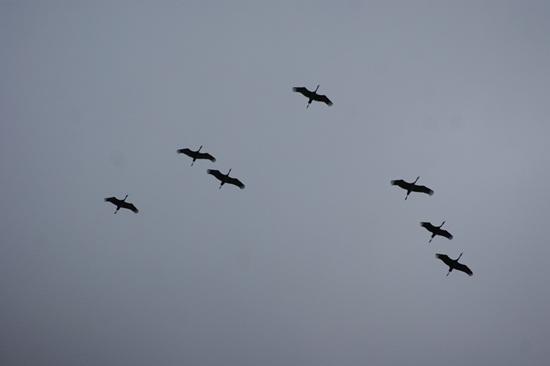 하늘에서 먼저 살펴보고 내려앉을 곳을 찾게 된다. 녀석들은 선발대로 보이는 두루미들로 본대가 오기 전에 미리 와서 살펴보고 있다.