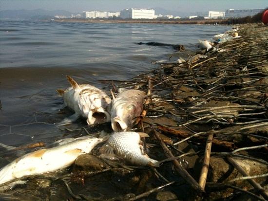 지난 10월 말 터진 구미 낙동강 물고기떼죽음 현장. 칠곡보 담수 이후 일어난 재앙이다.