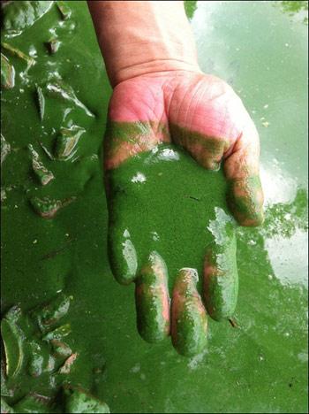낙동강 녹조라떼
