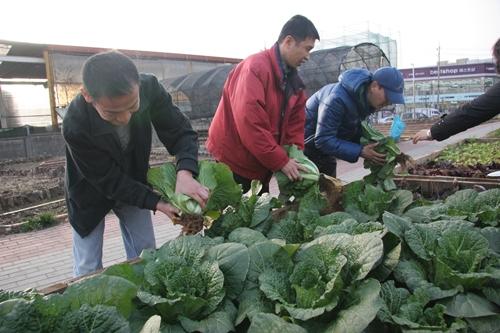 울림장애인자립생활센터 회원들이 십정동 도시농업공원 '장애인 텃밭'에서 배추를 거두고 있다