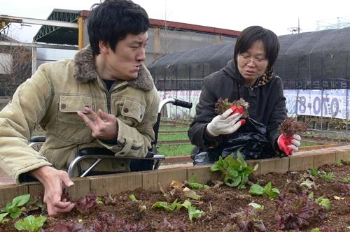 작년, 울림장애인자립생활센터 회원 김민곤씨(왼쪽)와 김경현 활동가가 아쉬운 마음으로 남아 있는 상추를 거두고 있다