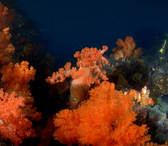 제주 문섬 한계창 수중 47m에 핀 대형 수지맨드라미산호가 군락을 이룬 모습
