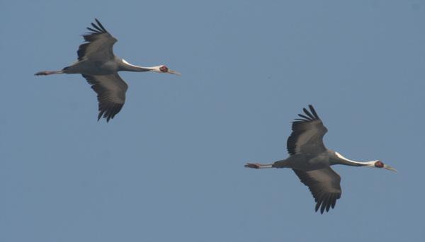 재두루미 한 쌍이 하늘을 자유로히 날고 있다