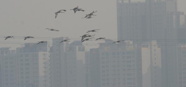 날아가는 재두루미 뒤로 먹이터인 홍도평야를 차지한 빌딩들이 보인다