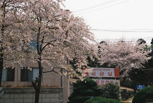 양정동의 한 대형병원의 벚꽃 풍경