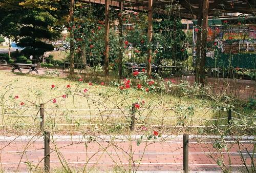 부산대학교 교정 모습. 10월에도 피어나는 장미꽃들.