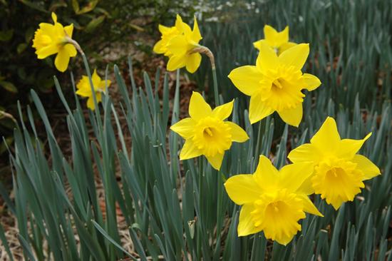 수선화 봄바람에 살랑대는 수선화가 자기의 사진을 찍어 달라고 눈웃음을 치고 있다.