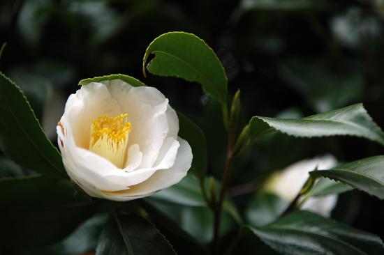흰동백 순백의 영혼을 느끼게 해 주는 흰 동백꽃.