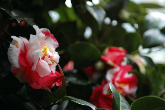 동백꽃 쉽게 볼 수 없는, 흰색과 붉은 색이 혼합된 동백꽃이 거제도 공고지에 활짝 꽃을 피웠다.