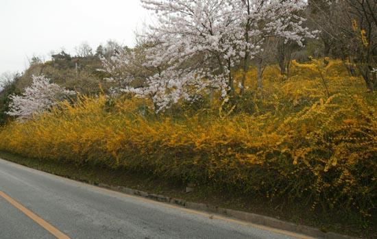 목포 유달산 일주도로에 개나리꽃이 활짝 피었다. 유달산 꽃봄의 시작이다.
