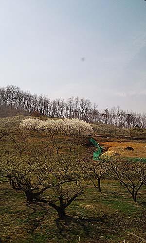 창밖으로 보이는 과수원 유실수들이 봄꽃을 피우고 있다.