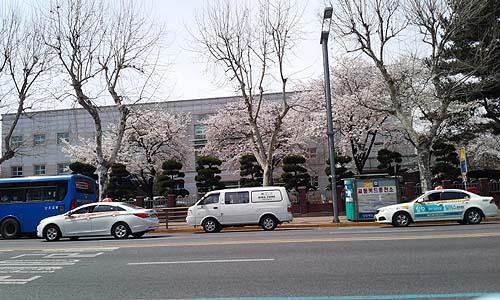 거리의 벚꽃 화사하에 핀 벚꽃나무와 아직도 앙상한 가로수