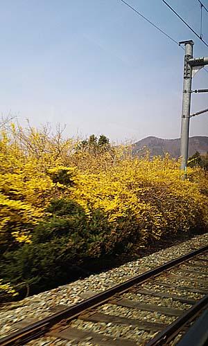 철길 옆의 개나리 기차길 옆 개나리의 노오란 색이 봄을 성큼 당기는 듯 하다