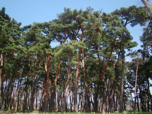 소나무가 마을 전체를 뒤덮은 강릉 '초당마을숲'