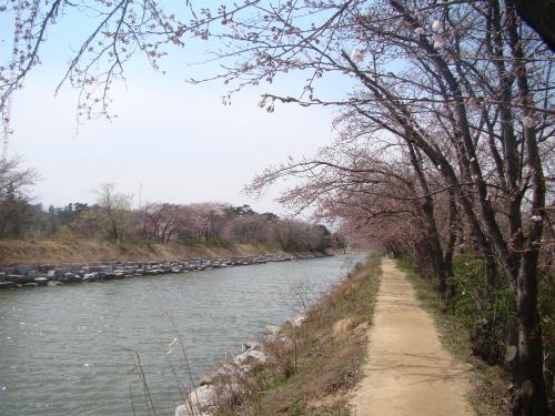 '철새관찰오두막' 가는 길. 지금쯤은 여기도 벚꽃이 만개했을 것이다.