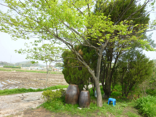 측백나무와 세력 다툼을 하느라 잘 자라지 못했던 느티나무가 어느새 이렇게 키가 컸다.