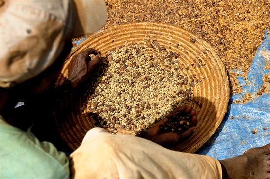 원두는 팔고 떨어진 파치먼트를 끓여 먹는다.