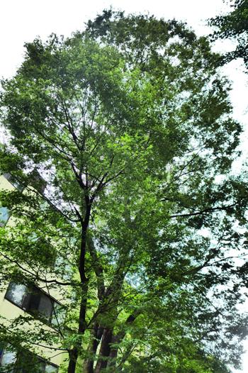 안양1동 진흥아파트(옛 태평방직 자리) 단지내에 있는 이승만 대통령 기념(기증) 식수 느티나무가 5층의 아파트 위로 우뚝 솟아있다.