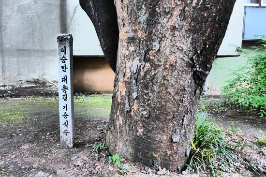 안양1동 진흥아파트(옛 태평방직 자리) 단지내에 있는 이승만 대통령 기념(기증) 식수 느티나무