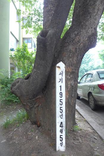안양1동 진흥아파트(옛 태평방직 자리) 단지내에 있는 이승만 대통령 기념(기증) 식수 느티나무. 심은 일자가 1955년 4월 4일로 표기되어 있다.