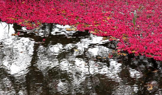 연못 속 반영과 떨어진 꽃잎 (2013-07-17 촬영)