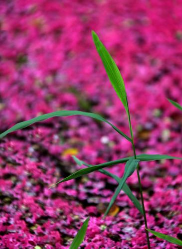 풀잎과 떨어진 꽃잎 (2013-07-17 촬영)