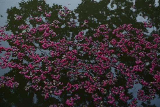 배롱 꽃의 연못 꽃이 연못에 쏟아져 내렸다. 초록잎과 함께 물에 반사되어 연못에 붉게 피어 있는것으로 착각할 정도다.