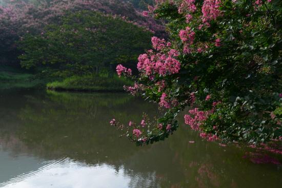 배롱 꽃의 연못 배롱 꽃이 연못에 반사되어 운취가 있다.