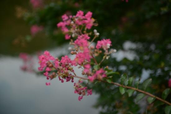 배롱 꽃 연못을 배경으로 가깝게 촬영해 봤더니 붉은 꽃이 아름답기 그지없다.