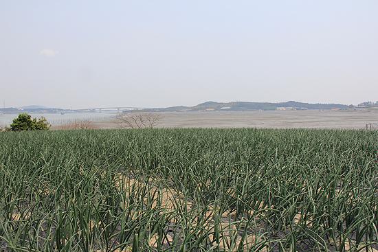 사옥도 주민들은 양파며 대파 등 농사를 짓고 산다.