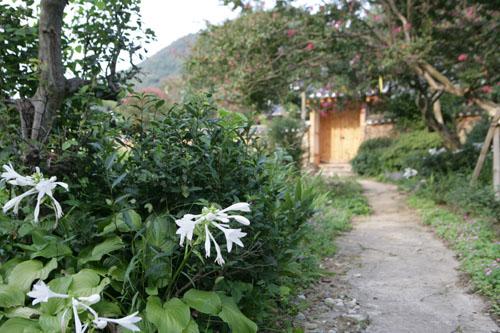 홍기창가옥에 핀 옥잠화. 홍기창가옥은 도래마을에 있는 풍산홍씨 고택 가운데 하나다.