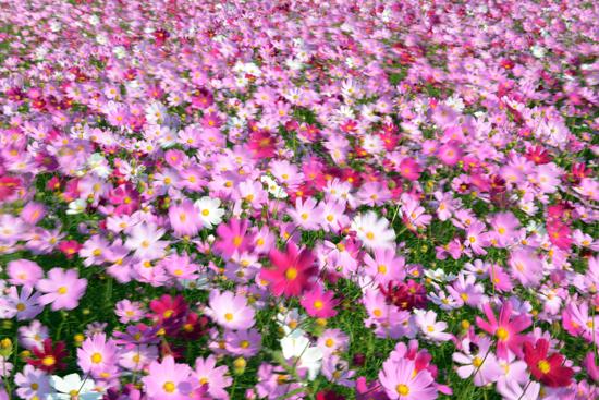 코스모스 자연의 색이 이토록 아름답게 느껴지는 것도 없을 것만 같다. 가을바람은 형형색색으로 물들인 코스모스 꽃을 춤추게 한다.