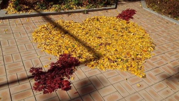은행잎으로 만든 하트 은행잎으로 만든 하트. 누군가 은행잎과 단풍잎을 모아 하트를 만들었다.