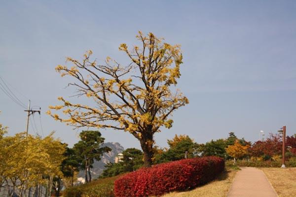종로구 월암공원 은행나무 종로구 월암공원 은행나무. 홍난파 가옥 옆 월암공원에 외로이 서 있는 은행나무. 공원을 단장하고 옮겨 심은 지 몇 년 되지 않았다.