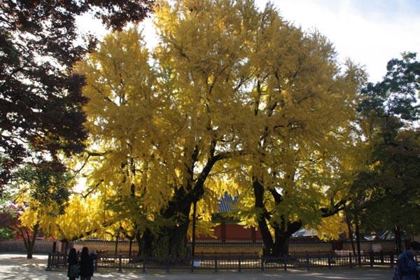 성균관 은행나무 성균관 은행나무. 명륜당 앞마당 은행나무 두 그루 모두 수나무라 은행이 열리지 않는다.