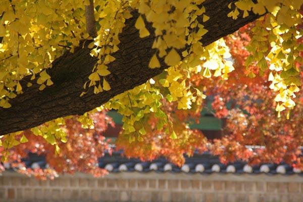 은행잎과 단풍잎 은행잎과 단풍잎. 은행잎과 단풍잎이 늦가을을 물들이고 있다.
