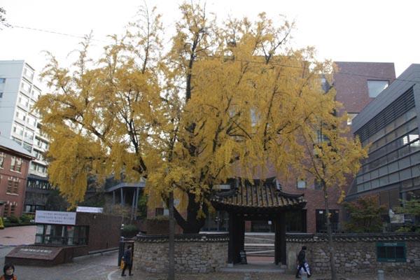 이화학당 정문 옆 은행나무 이화학당 정문 옆 은행나무. 은행나무가 노란 잎을 연신 떨어뜨리고 있다.