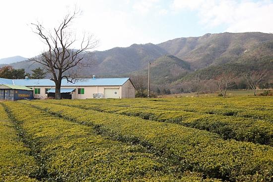 대한다업 보성다원 제2농장 풍경